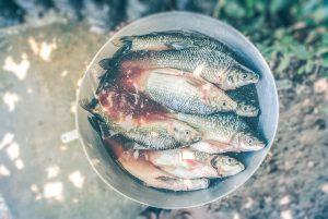 fischerprüfung bild weißfische